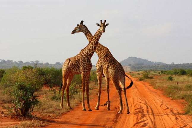 Tsavo East West